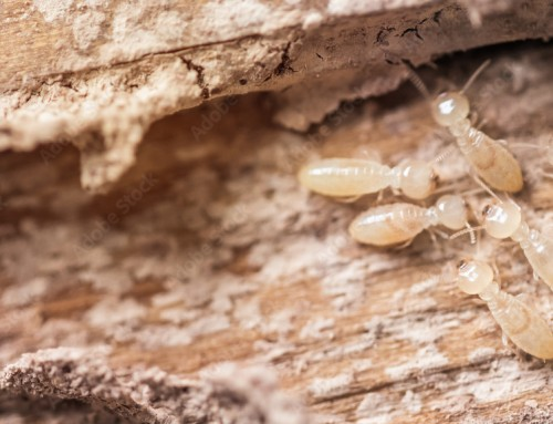 How to Prevent Termites in New York