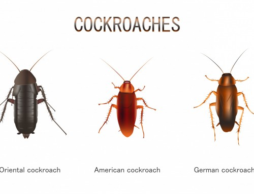 Types of Cockroaches that live in NYC